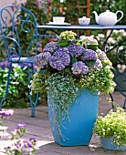 Purple hydrangeas, sweet alyssum and dichronda in pastel blue planter