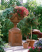 Decorative terracotta vase of miniature trailing petunias and sage on terracotta plinth next to dwarf pomegranate tree