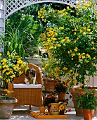 Trellis and yellow flowering potted plants on balcony
