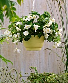 White, trailing begonia and ivy in hanging basket