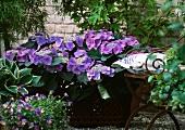 Hortensie (Sorte: Blaumeise) und Hornveilchen neben Gartenstuhl
