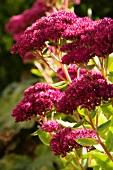 Sedum (flowering)