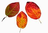 Three autumn leaves