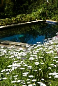 Idyllic pool surrounded by glorious meadow of blooming ox-eye daisies