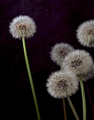 Several dandelion clocks against black background