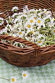 Basket of picked daises