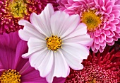 White cosmea flower amongst pink dahlias