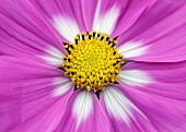 Pink cosmea flower with white petals bases and yellow stamens (detail)