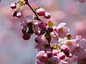Bee on cherry blossom (close-up)