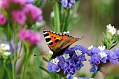 Butterfly on sea lavender in garden