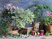 Various scented geraniums and herbs for cooking and aromatherapy