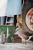 Free-range greylag goose next to wheelbarrow and tractor in farmyard