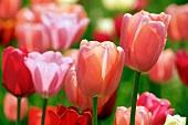 Tulips glowing in spring sunshine