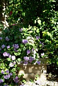 Climbing plants and violet flowers in garden