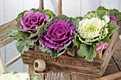 Crate of ornamental cabbages