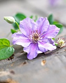 Blue clematis: flower, bud and leaves