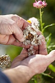 Hands deadheading faded everlasting flowers (Helichrysum bracteatum)