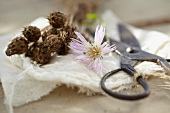 Collecting knapweed (Centaurea) seeds