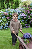 Little boy with wheelbarrow in front of hydrangeas in garden