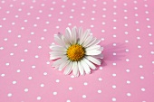 Daisy on pink and white spotted surface
