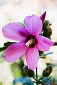 Lila Hibiskusblüte (Nahaufnahme)