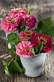 Zinnias in ceramic pots on rustic table