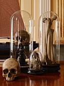 Skulls and bones in bell jars on antique wooden stands