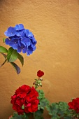 Blue hydrangea and red pelargonium flowers against ochre-coloured wall