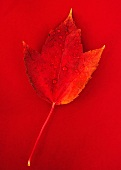 Studio shot of red fall leaf with water drops
