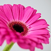 Studio close-up of gerbera daisy