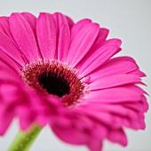 Studio close-up of gerbera daisy