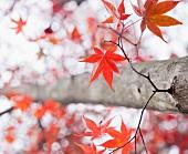 Ahornbaum mit herbstlichen Blättern