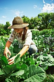 Young woman picking cabbages in field