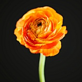 Studio shot of orange Ranunculus