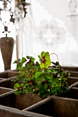 Oxalis in old wooden crate in front of curtained window and candlestick