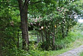 Paved path leading past garden with lit lanterns in rose bush