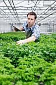 Germany, Bavaria, Munich, Mature man examining parsley plants in greenhouse