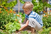 Germany, Bavaria, Boy picking lettuce in garden