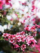 Branch with pink blossom