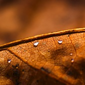 Dew drops on brown autumn leaf (close-up)