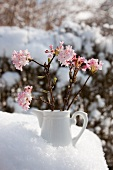 Small china jug of fragrant viburnum (Viburnum Charles Lamont)