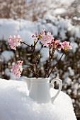 Small china jug of fragrant viburnum (Viburnum Charles Lamont)