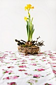 Narcissus with bulbs in nest with elder twigs on floral tablecloth