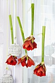 Suspended cut amaryllis and lanterns