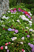 Hydrangeas flowering in different colours in rustic garden