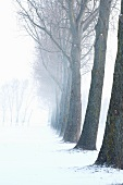 Long row of trees in snowy landscape