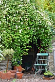 Lushly rambling clematis (Clematis montana Wilsonii) over door of tool shed with stone walls