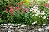 Stone wall with lushly flowering valerian (Centranthus) and ox-eye daisies (Chrysanthemum)