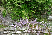 Harebells (Campanula) and jasmine (Jasminum officinalis) in Alpine bed