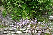 Harebells (Campanula) and jasmine (Jasminum officinalis) in Alpine bed